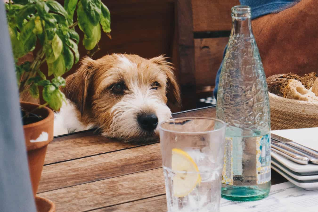 dog laying his on table looking at water